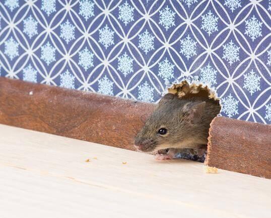 rat inside house