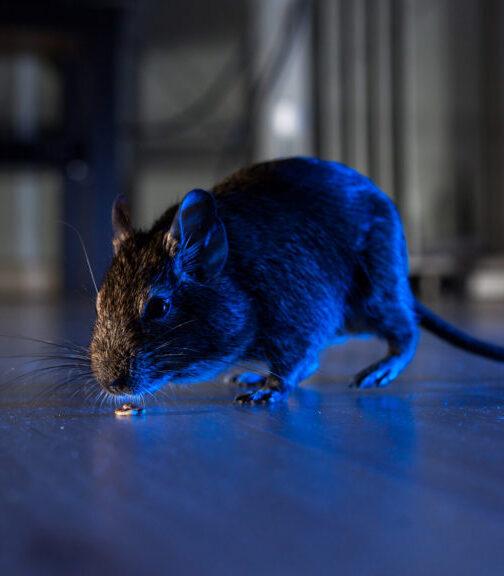 rat slab