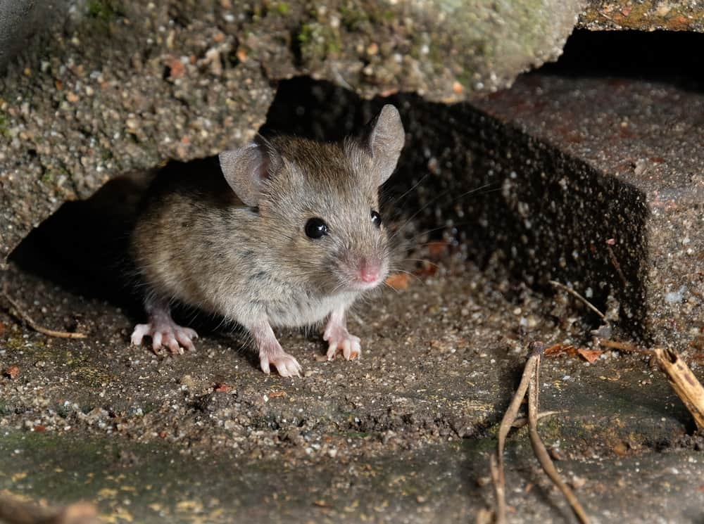 Rodent infestation in Crawl Space